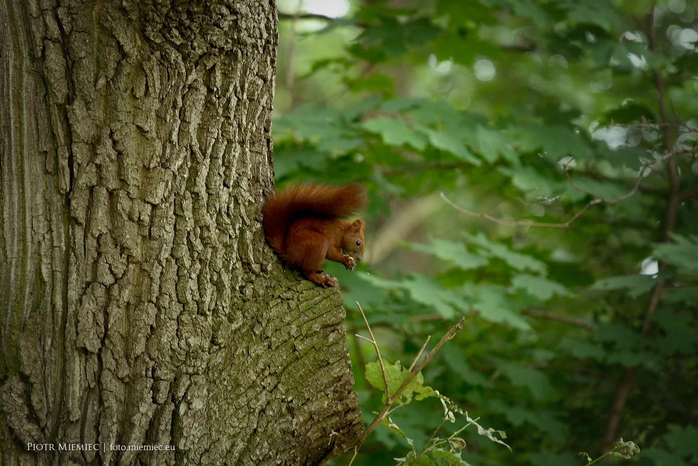 Wiewiórki park Norweski
