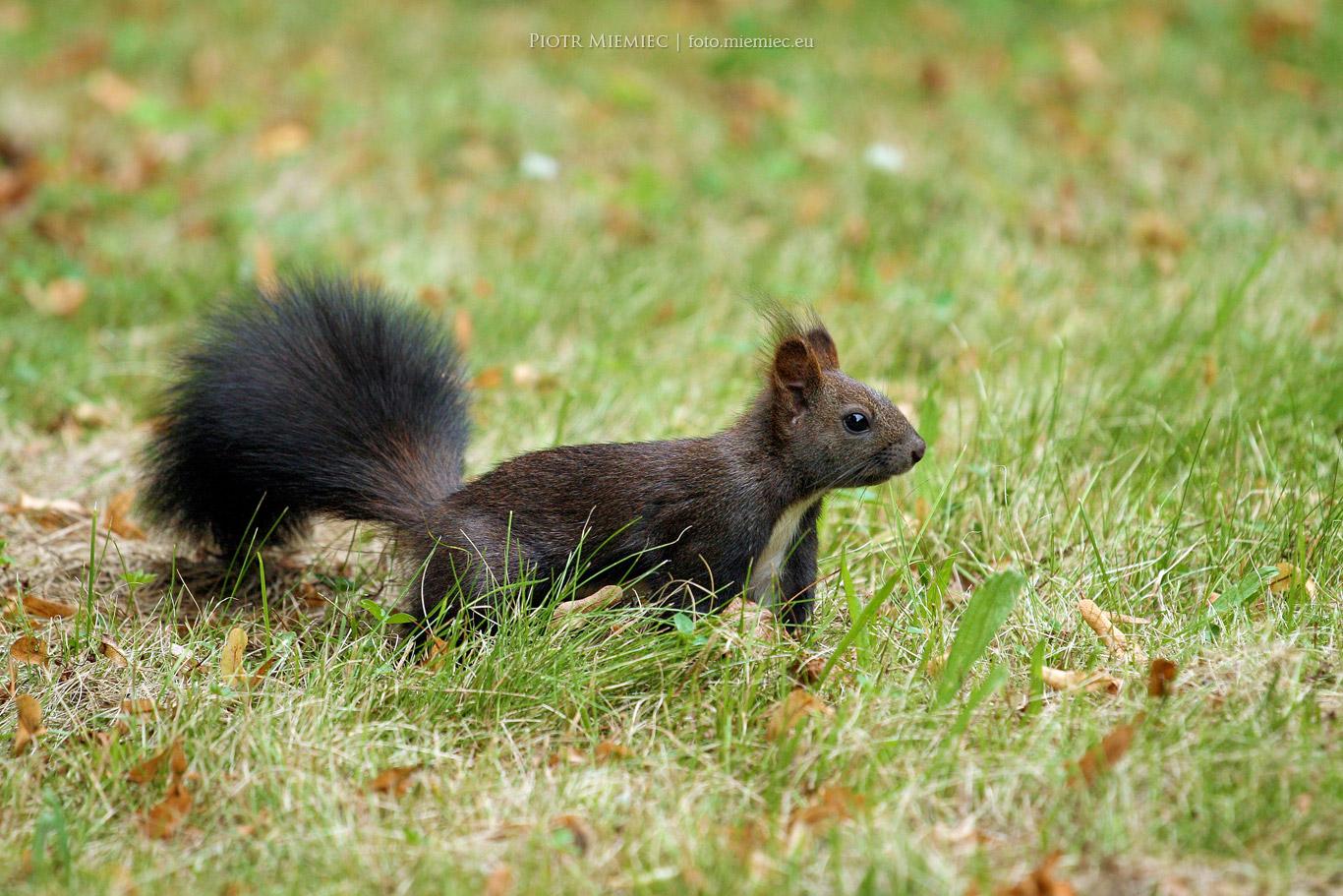 Park Norweski wiewiórki