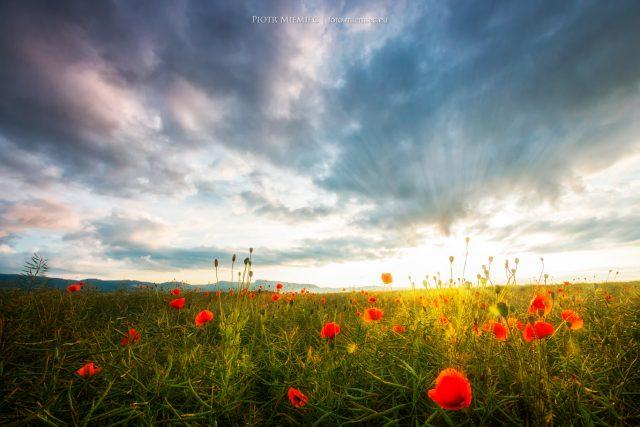 Słońce, łąka i czerwone maki