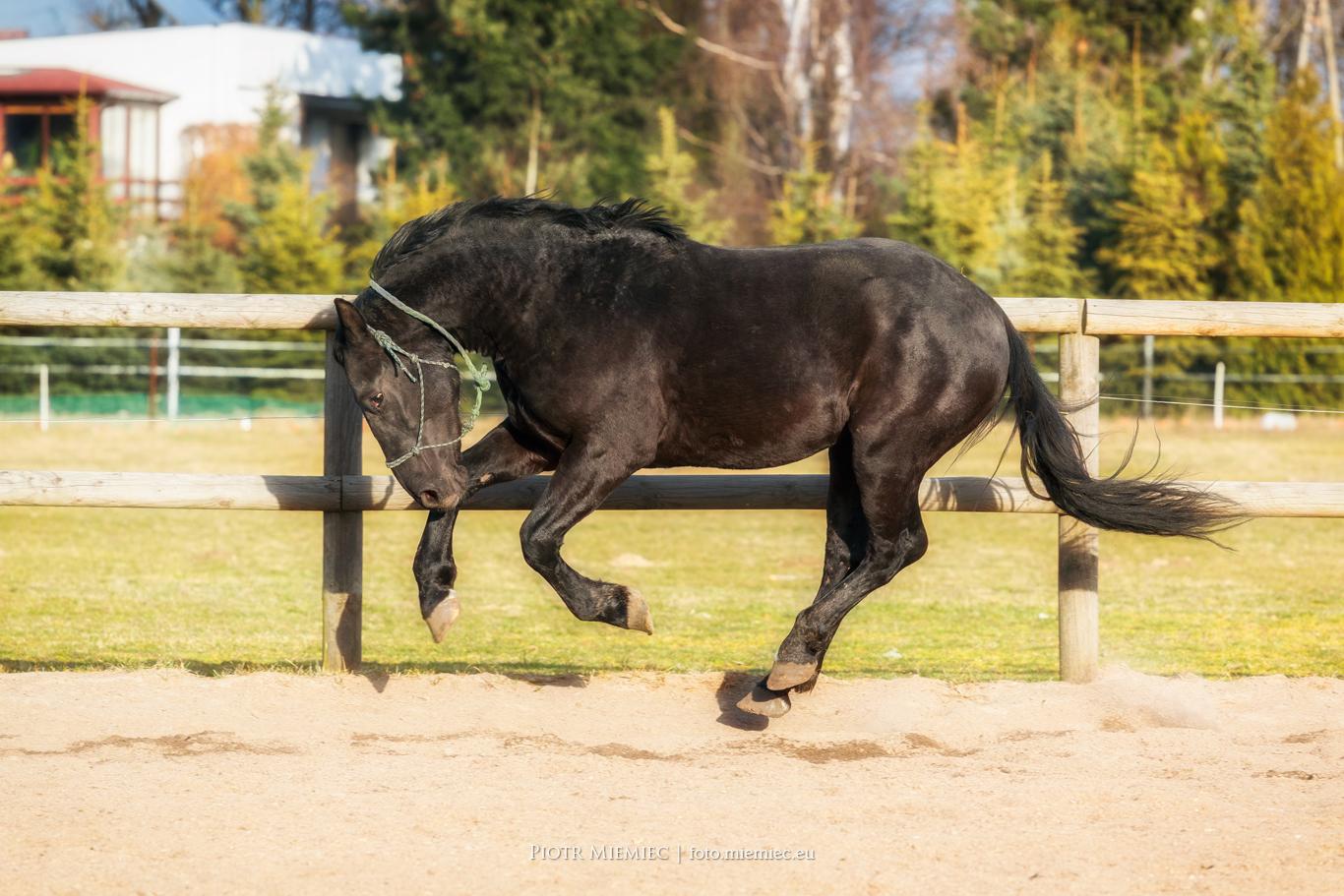Koń ślązak ogier